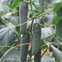 Семена огурца Титаник(353) F1 (500семян) Yuksel, Турция