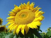 Семена подсолнечника Днестр стандарт, фото 1