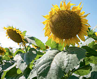Семена подсолнечника Лимагрейн ЛГ 5452 ХО КЛ