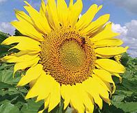 Семена подсолнечника Лимагрейн ЛГ 5661 КЛ