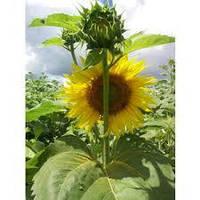 Семена подсолнечника Dow Agro 8Н358КЛДМ