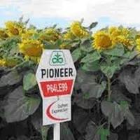 Семена подсолнечника Pioneer P64LE99 Кру, фото 1
