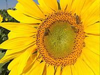 Семена подсолнечника Н4ЛM408, Clearfield (Nuseed)
