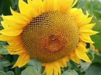 Семена подсолнечника Евралис Янис, фото 1
