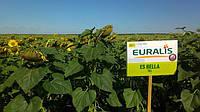 Семена подсолнечника Евралис Белла, фото 1