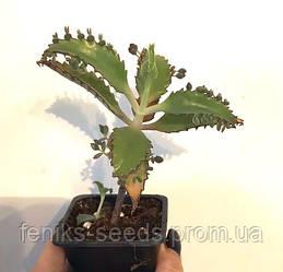 Каланхоэ лечебный молодое растение