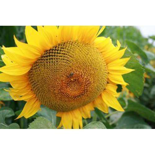 Семена подсолнечника НС Х 2652 под гранстар