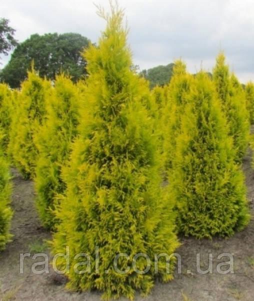 Туя західна Голен Брабант Р9 23-26 (Thuja occidentalis Golden Brabant)
