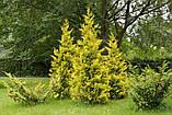 Туя західна Голен Брабант Р9 23-26 (Thuja occidentalis Golden Brabant), фото 2