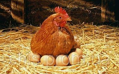 Инкубационное яйцо несушки Тетра H