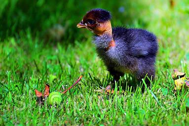 Инкубационное яйцо Голошейки