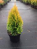 Туя Golden Smaragd C2, фото 2