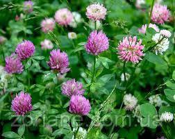 Семена Клевер Розовый (Семена)