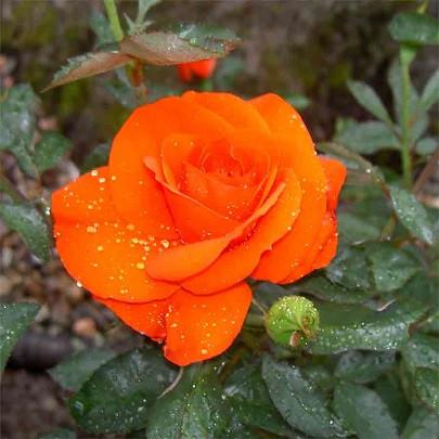 Роза чайно-гибридная Кордес Бриллиант