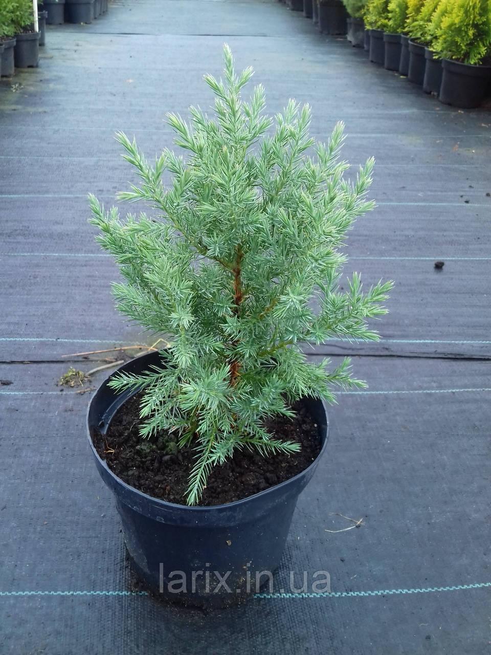 Можжевельник китайский Стрикта С2 Juniperus chinensis Stricta