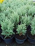 Можжевельник китайский Стрикта С2 Juniperus chinensis Stricta, фото 2