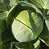 Семена капусты б/к Структон F1 2500 семян Hazera