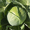 Семена капусты б/к Структон F1 2500 семян (калибр.) Hazera