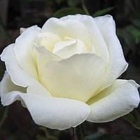 Роза Моунт Шаста
