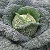 Семена савойской капусты Турмалин F1 2500 семян Hazera