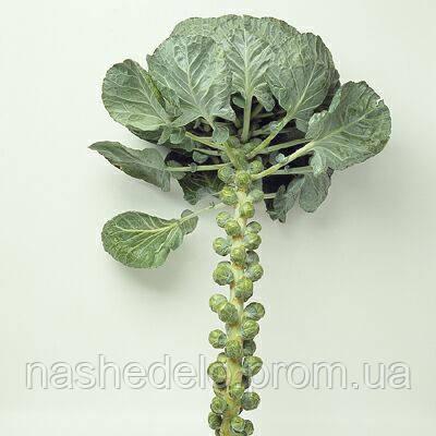 Семена брюссельской капусты Бриллиант F1 2500 семян Hazera