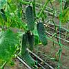 Семена огурца Темпеста F1 100 гр. Hazera
