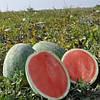Семена бессемянного арбуза Саги F1 1000 семян Hazera