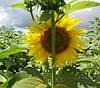 Насіння соняшника Антей+ Стандарт Гермес (Семена подсолнуха Антей+)