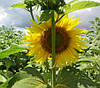 Насіння соняшника Антей+ Екстра Гермес (Семена подсолнуха Антей+)
