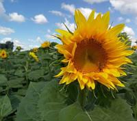 Насіння соняшника Одісей імі Стандарт Гермес (Семена подсолнуха Одисей імі)