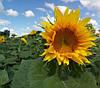 Насіння соняшника Одісей імі Екстра Гермес (Семена подсолнуха Одисей імі)
