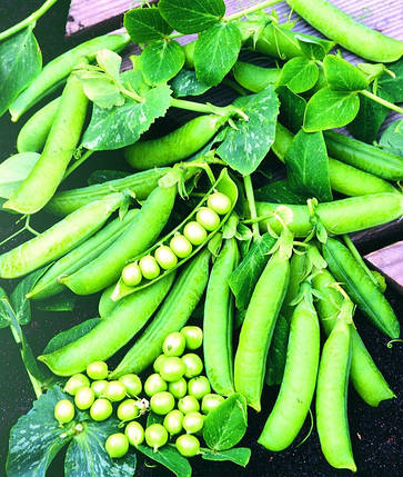 ПРЕЛАДО / PRELADO, 100 семян — горох, Syngenta (Садыба Центр), фото 2