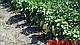 Семена перца Никита F1 \ Nikita F1 50 грамм  Clause , фото 7