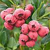 """Голубика """"Пинк Лимонад"""": розового цвета, потрясающего сладкого вкуса"""