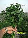 Семена петрушки Новас \ Novas 250 грамм  Clause , фото 2