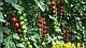 Семена томата Хилма (Elisem) F1 Clause 250 семян, фото 2