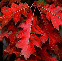 Саджанці дуба червоного Rubra трирічні