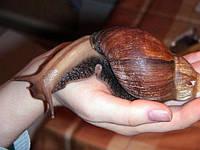Гигантская Африканская улитка ахатина-размер в ладошку.