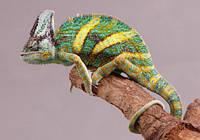 Хамелеон йеменский (Chamaeleo calyptratus), фото 1