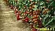 Семена томата Хилма (Elisem) F1 Clause 250 семян, фото 4
