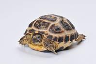 Черепаха степная (Testudo horsfieldii)