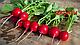 Семена редис Джолли \ Jolly 100 грамм Clause, фото 2