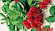 Семена редис Джолли \ Jolly 0.5 кг Clause, фото 2