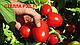 Семена томата Стелларед F1 \ Stellared F1 25000 семян Clause , фото 3