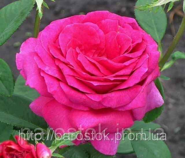 Саженцы розЮрианда. Чайно-гибридная роза