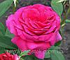 Роза «Юрианда». Чайно-гибридная роза. ()