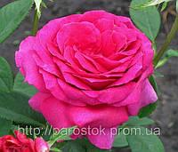 Роза Юрианда. (мс). Чайно-гибридная роза.