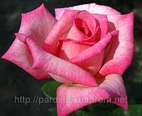 Чайно-гибридная роза «Паваротти». ()  , фото 1