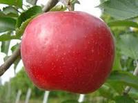 Саженцы яблони Деличия , фото 1