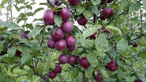Саженцы яблони Спартан